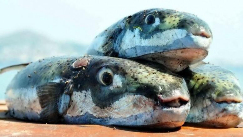 Bakan Pakdemirli: 5,5 Milyon Balon Balığı İçin 5 Milyon Lira Ödeme Yapacağız